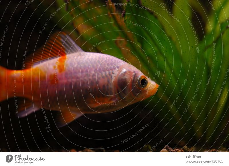 Water Plant Calm Loneliness Orange Gold Glittering Swimming & Bathing Fish Patch Aquarium Tails Water wings Dappled Goldfish Dandruff