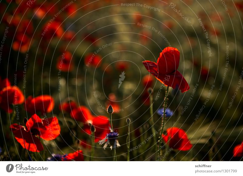 Spreedorado Tell me why ... Plant Sunrise Sunset Beautiful weather Flower Blossom Meadow Field Red Poppy Poppy blossom Poppy field Poppy capsule Poppy leaf