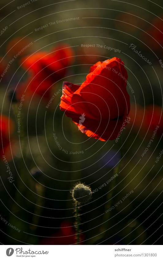 Spreedorado red ruffle. Plant Flower Blossom Meadow Field Red Poppy Poppy blossom Poppy field Poppy capsule Poppy leaf Corn poppy Cornflower Exterior shot