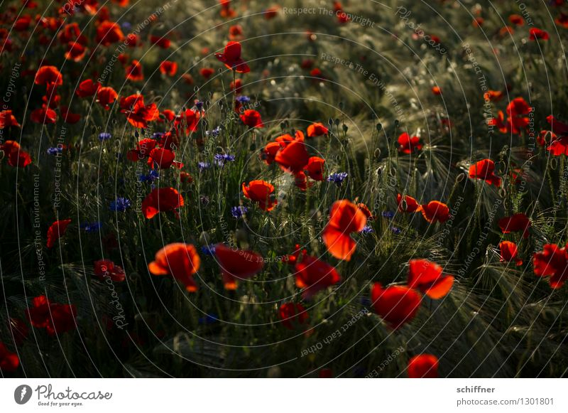 Spreedorado, Monday is poppy day. Nature Plant Beautiful weather Blossom Agricultural crop Field Blue Red Poppy Poppy blossom Poppy field Poppy capsule