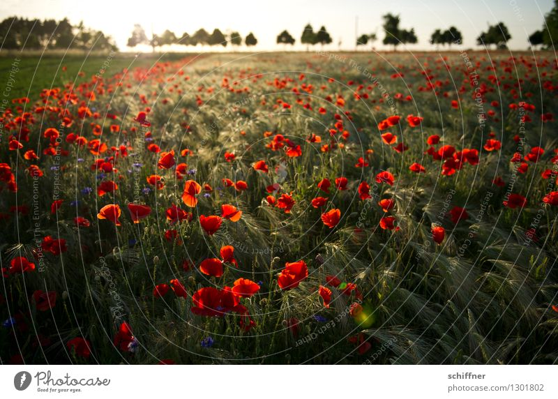 Nature Plant Tree Flower Red Landscape Environment Blossom Meadow Grass Field Poppy Dusk Poppy field Poppy blossom Row of trees