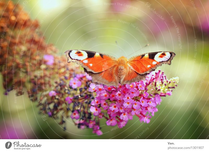 observation wings Nature Plant Animal Summer Blossom Garden Wild animal Butterfly Wing Insect 1 Warmth Orange Pink Colour photo Multicoloured Exterior shot