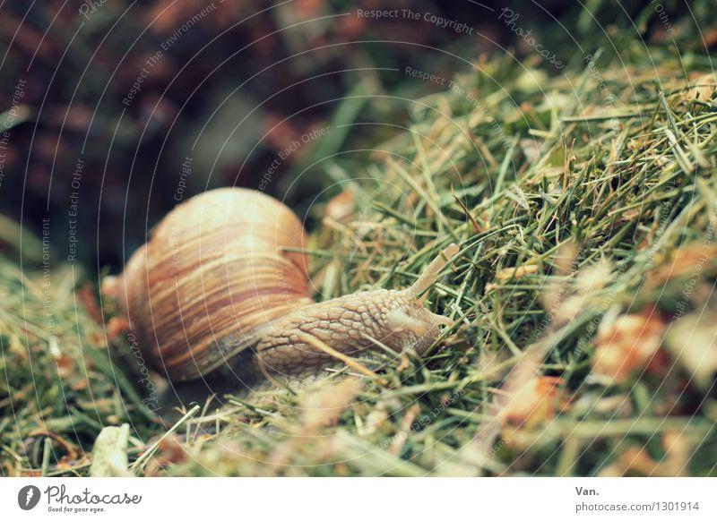 snail hiding place Nature Animal Grass Snail 1 Small Manure heap Colour photo Multicoloured Exterior shot Close-up Deserted Day Animal portrait