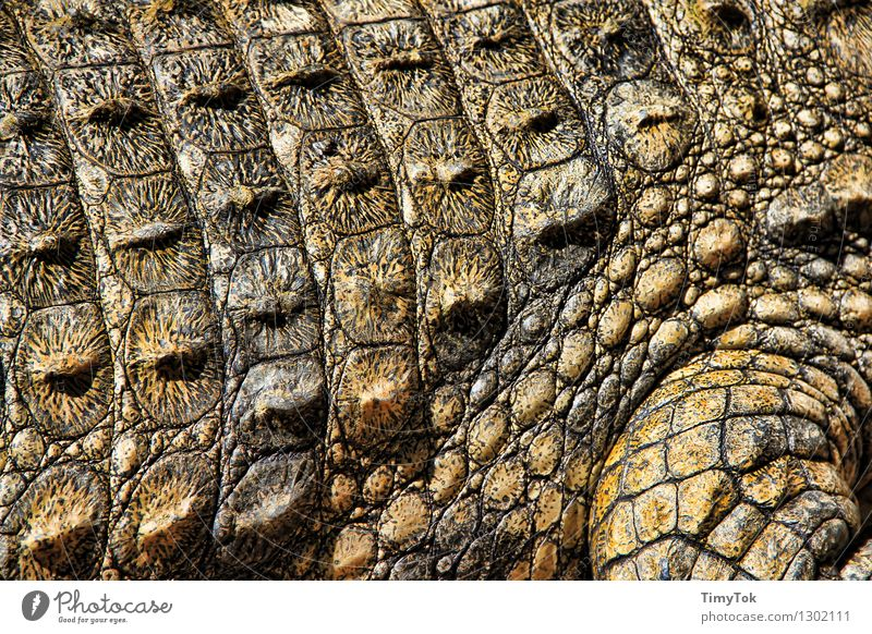 crocodile skin Animal Wild animal Crocodile Threat Exotic Thorny Brown Green Colour photo Close-up Deserted