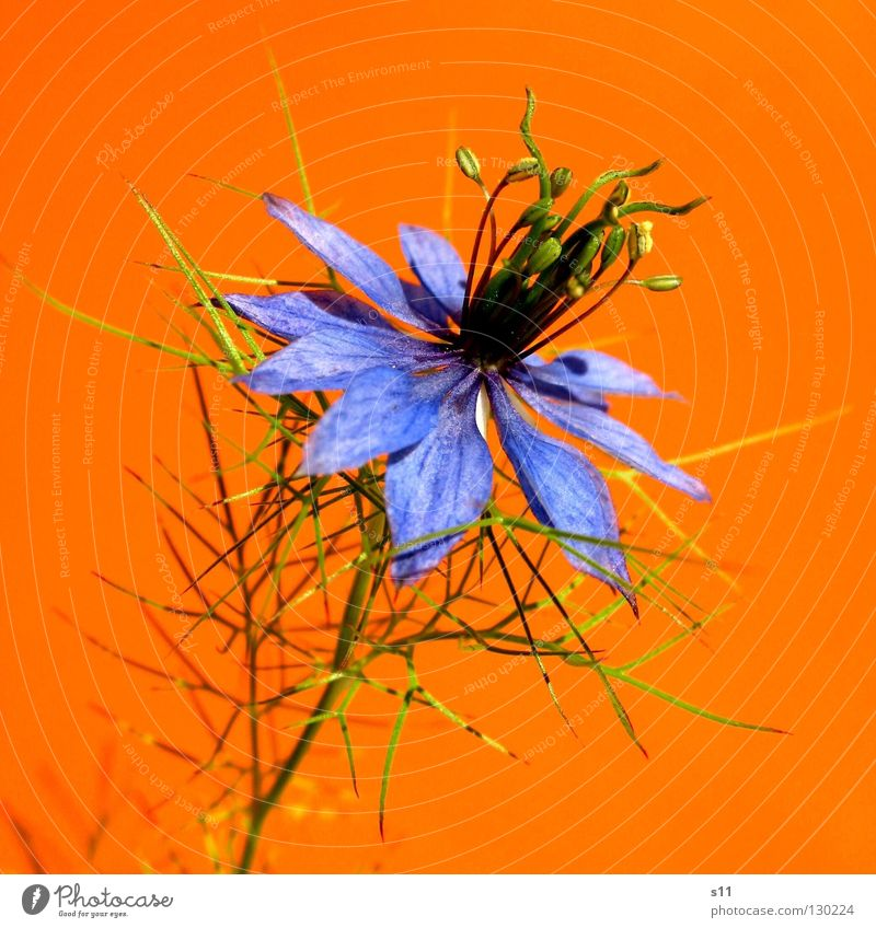 orange blue Flower Blossom Cornflower Delicate Fine Plant Blossom leave Round Playing Summer Converse Gaudy Kitsch Green Bond Headdress Macro (Extreme close-up)