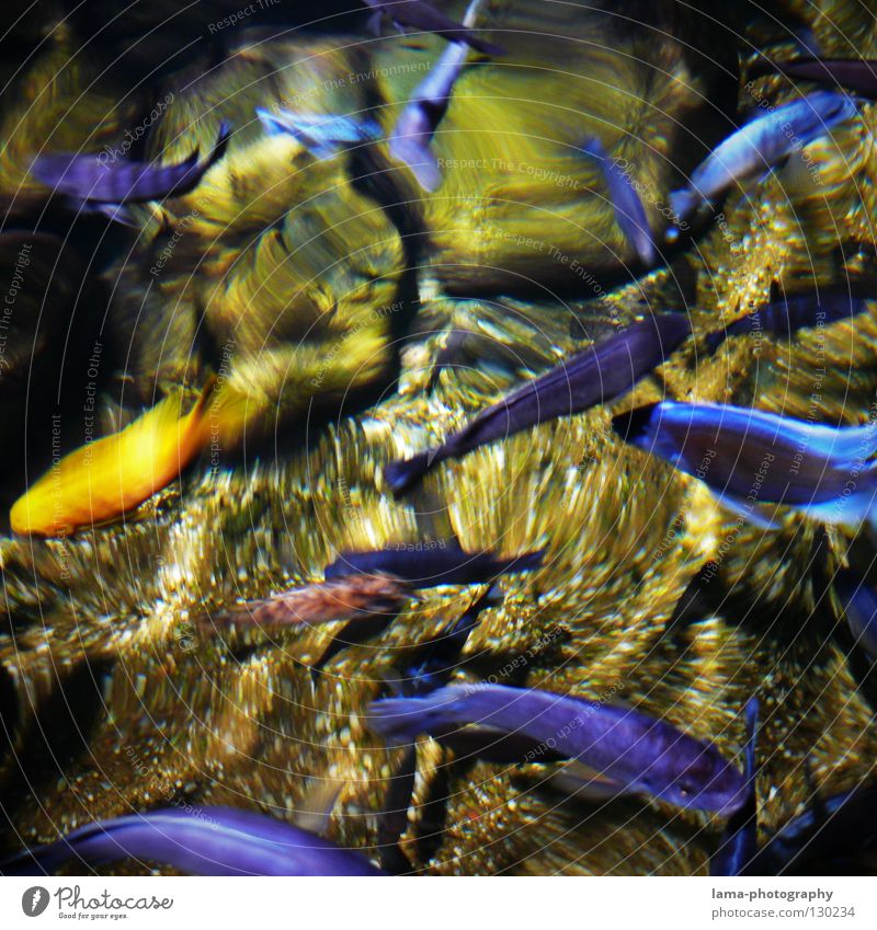 Golden Outsider Aquarium Goldfish Ornamental fish Cichlids Malawi Sapphire Reflection Surface of water Waves Ocean Lake Pure Transparent Fishing (Angle)