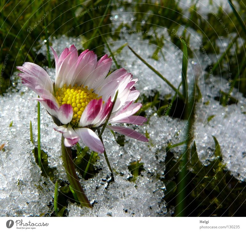 flowering daisy on a meadow with snow Winter Spring Cold Freeze Ice crystal Flower Daisy Blossom leave Stalk Grass Blade of grass Blossoming Side by side