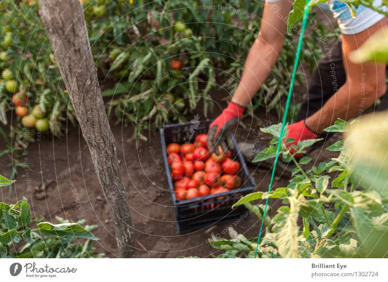 harvest time tomatoes Vegetable Organic produce Summer Seasonal farm worker Plantation Agriculture Forestry Human being Masculine 1 Nature Agricultural crop