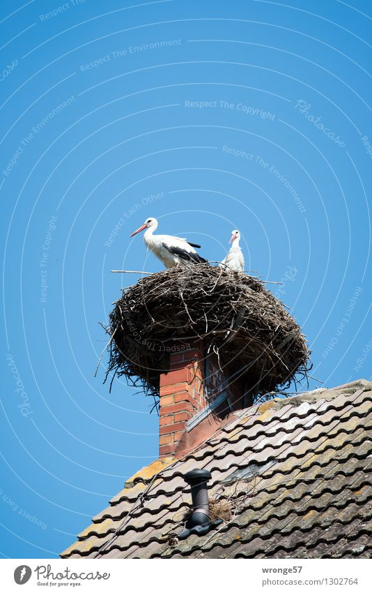 Come home, Horst. Environment Summer Beautiful weather House (Residential Structure) Roof Chimney Animal Wild animal Bird Stork 2 Pair of animals Natural