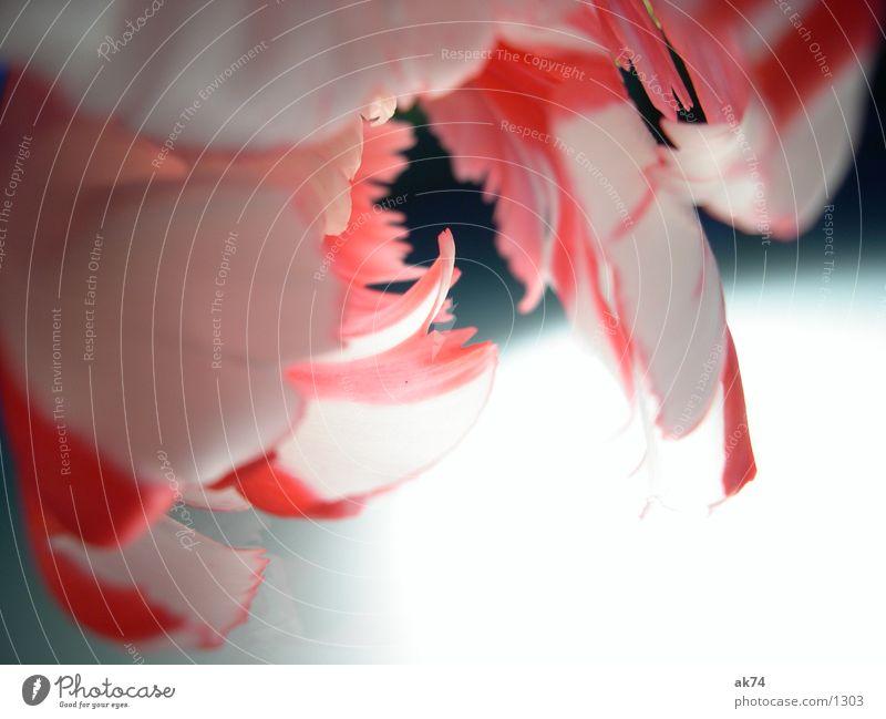 White Flower Red Tulip
