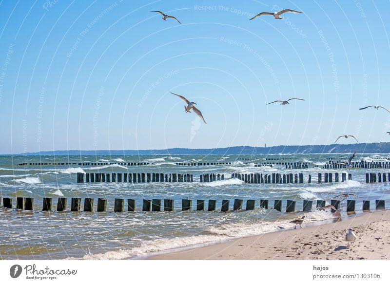Baltic beach with groynes and seagulls Leisure and hobbies Vacation & Travel Ocean Baltic Sea Bird Group of animals Old Historic Idyll Surf Break water Seagull
