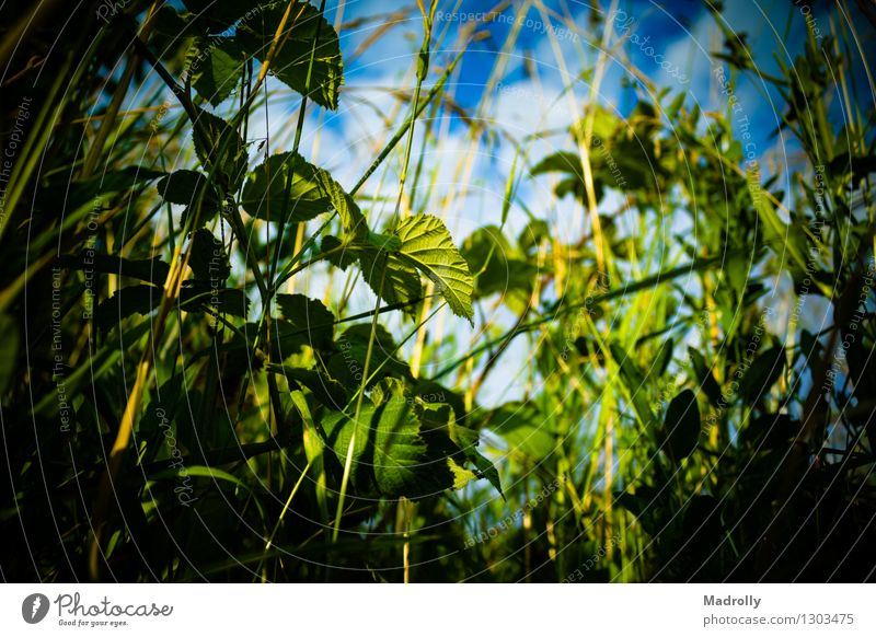 View from the grass Summer Garden Nature Landscape Plant Sky Clouds Grass Leaf Meadow Growth Fresh Bright Natural Clean Wild Blue Green Colour agriculture