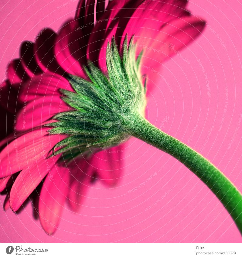 Beautiful Flower Green Summer Colour Wall (building) Blossom Spring Pink Kitsch Violet Decoration Stalk Vase Blossom leave Gerbera