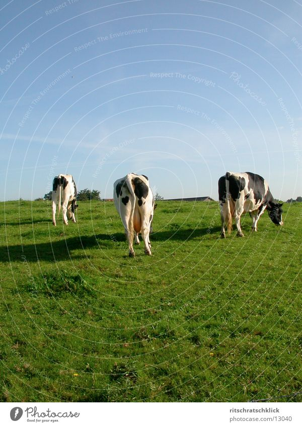 the three ladies from the grill or also zapfdingbats Cow Meadow Udder