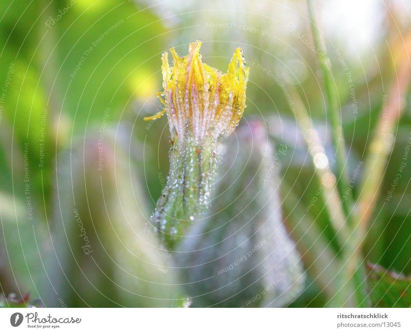 morning dew Blossom Dew