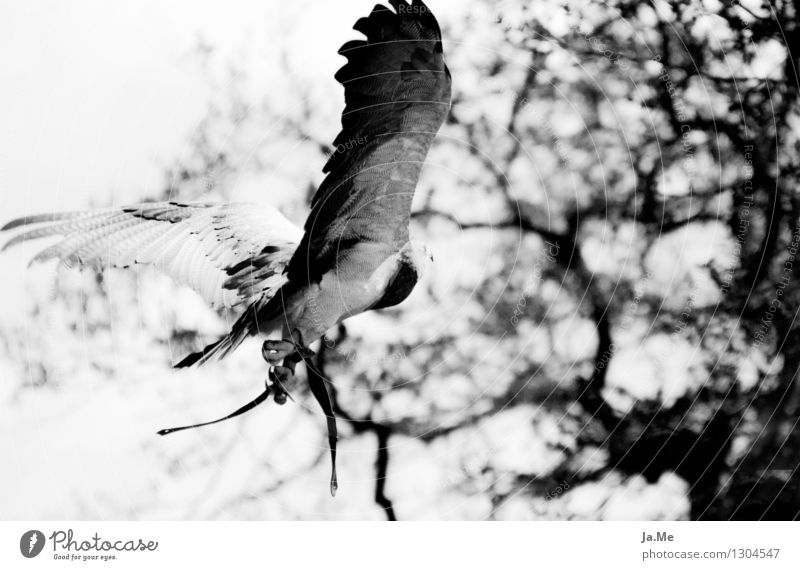 Black & White Blue Hawk Animal Wild animal Bird Wing Claw Bird of prey blue buzzard 1 Flying Hunting Speed Power Falconer falconry Freedom Black & white photo