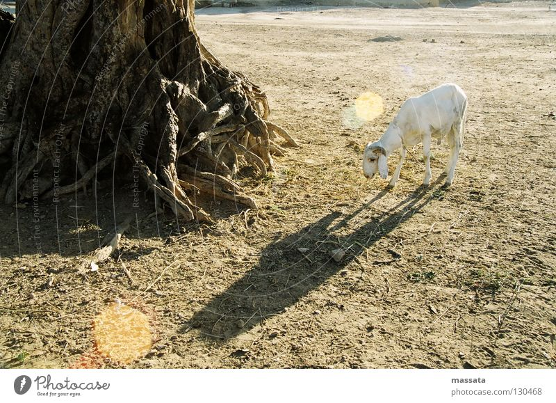 Loneliness Africa Dry Sheep Sacrifice Fig tree