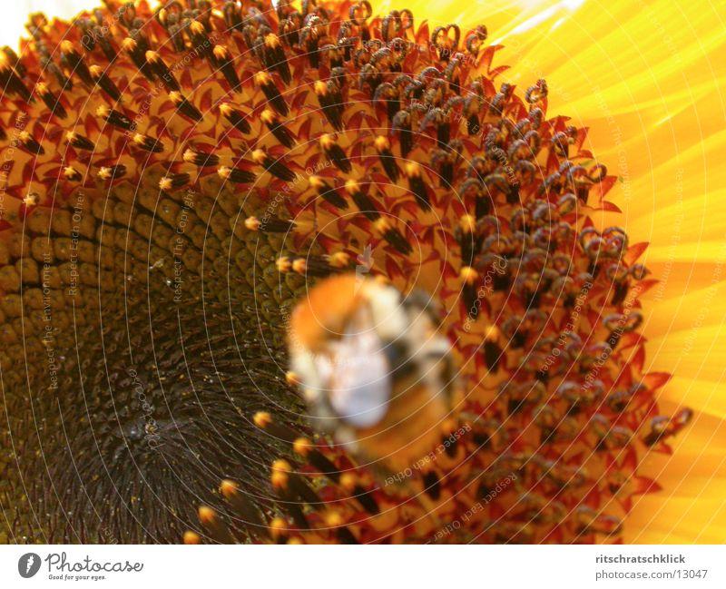 sunflower_02 Sunflower