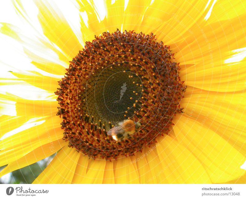 sunflower_03 Sunflower