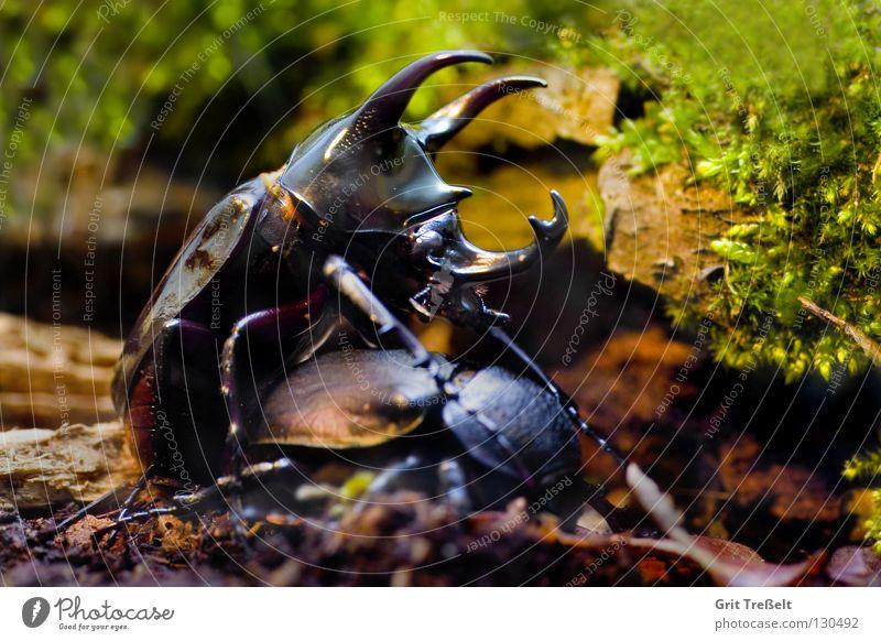 Chalcosoma atlas Insect Black Propagation Beetle Macro (Extreme close-up) Nature Flying