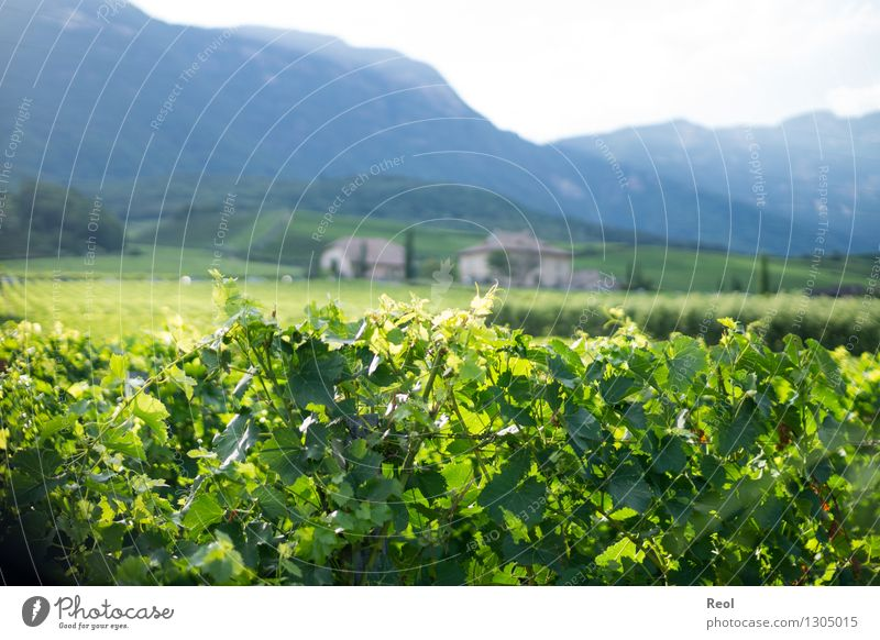 vineyards Nature Landscape Elements Summer Beautiful weather Plant Leaf Agricultural crop Wild plant Vine Hill Mountain South Tyrol Vineyard Winery Growth Green