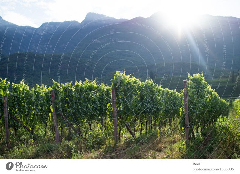 Vineyards II Nature Landscape Earth Sky Sun Sunrise Sunset Sunlight Summer Beautiful weather Plant Leaf Hill Mountain South Tyrol Green Ground Fertile Creeper