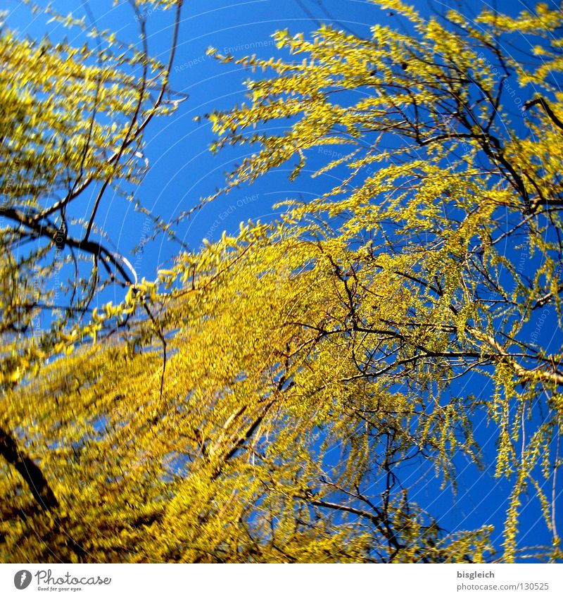 willowtree Colour photo Exterior shot Deserted Worm's-eye view Happy Sky Spring Tree Weeping willow Blue Green Hope Grief Distress Willow tree Sadness Day