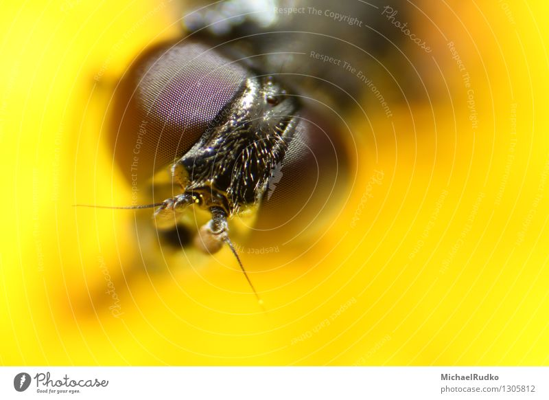 eyeball to eyeball Animal Wild animal Fly Animal face Hover fly 1 Observe Flying Looking Curiosity Yellow Watchfulness Accuracy Complex Precision Whimsical