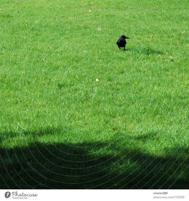 Morning walk. Bird Meadow Green Black Grass Blade of grass To go for a walk Animal Deerstalking Foray raven Lawn Shadow morning walk Trip blacker raven Graffiti