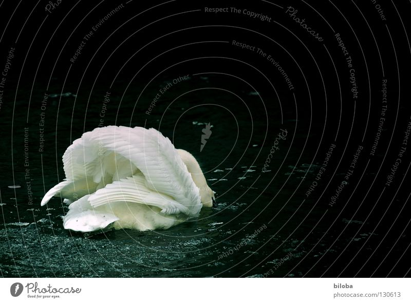 Water White Animal Black Movement Lake Bird Power Flying Elegant Drops of water Force Feather Wing Soft River