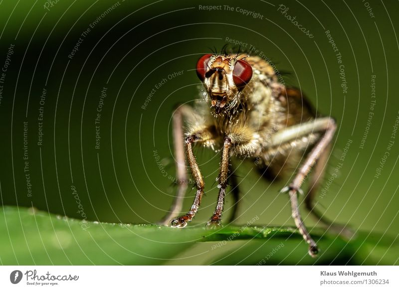 body hair Environment Nature Animal Summer Plant Leaf knotweed Garden Park Meadow Forest Hair Fly Animal face Claw robber fly 1 Observe Sit Wait Threat Creepy