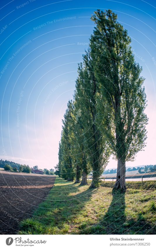 poplar avenue Environment Nature Landscape Plant Autumn Beautiful weather Tree Poplar Field Forest Movement Stand Growth Tall Long Natural Thin Point Power
