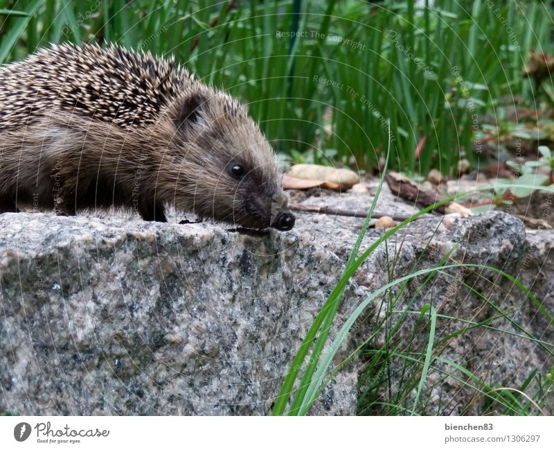 hedgehog walk Wild animal Hedgehog 1 Animal Stone Movement Discover Feeding Walking Exceptional Curiosity Cute Thorny Brown Gray Green White Love of animals