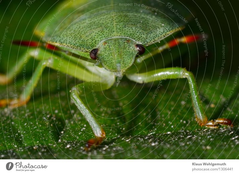 Green stuff 1 Environment Nature Animal Summer Plant Leaf Park Forest Beetle Shield bug Observe Sit Wait Red Black Feeler Compound eye Colour photo