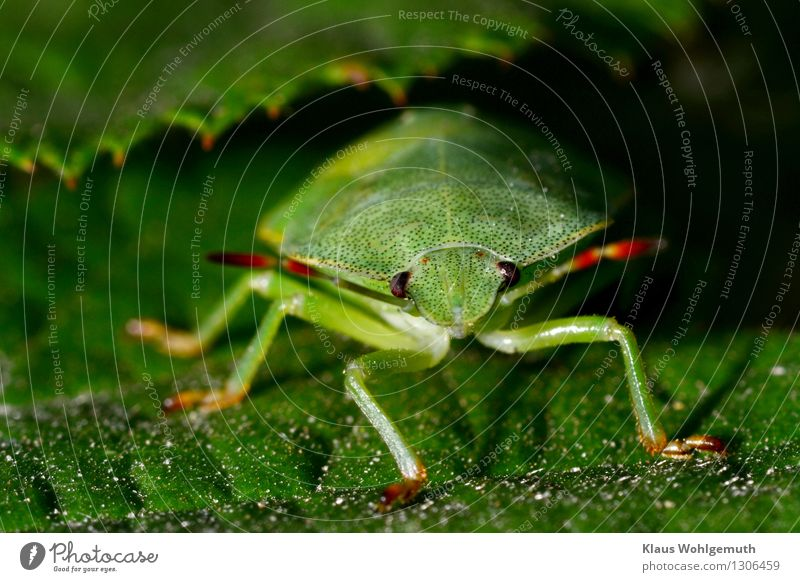 Greenery 3 Environment Nature Animal Summer Plant Leaf Park Forest Beetle Animal face Shield bug 1 Looking Sit Wait Red Black Feeler Compound eye Colour photo