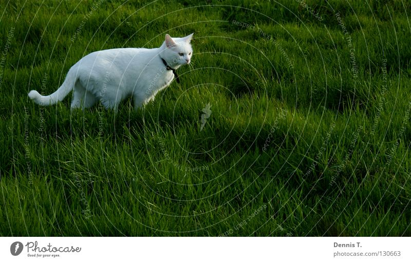 Little White Tiger Food Nutrition Hunting Nature Plant Animal Spring Grass Meadow Field Pet Cat 1 Threat Anger Green Dangerous Risk Land-based carnivore