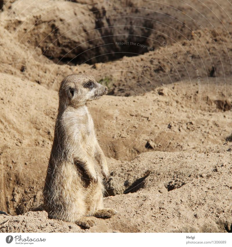 of the cave wardens... Nature Animal Summer Beautiful weather Wild animal Zoo Meerkat 1 Sand Observe Looking Sit Uniqueness Small Natural Curiosity Brown