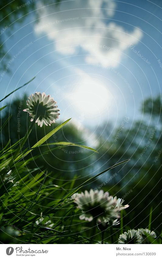 Position Daisy Marguerite Vantage point Flower Blossom Flashy Sky blue Clouds Green Grass Growth Heavenly Blade of grass Blossom leave Moody Bad weather Park