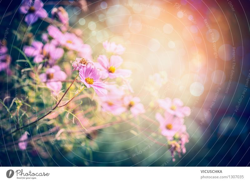 Nature Plant Summer Sun Flower Leaf Yellow Blossom Spring Autumn Grass Style Background picture Garden Lifestyle Pink