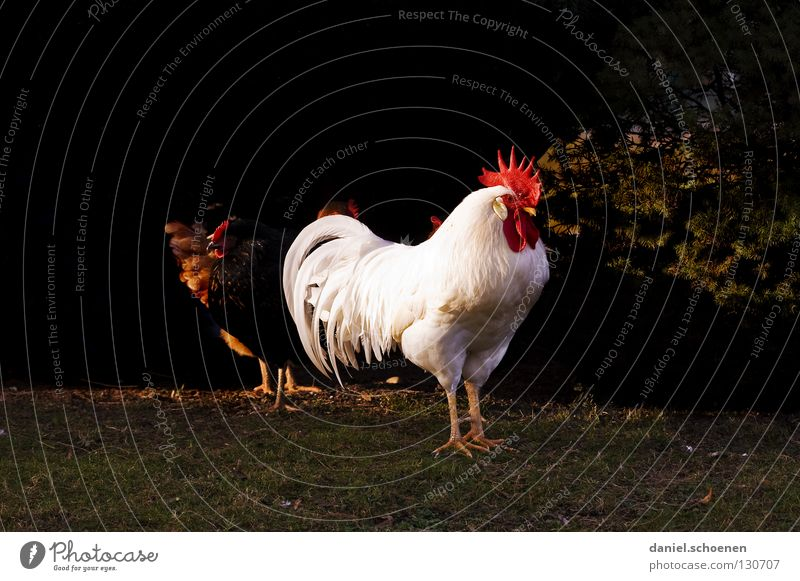 the boss Rooster Barn fowl Superior Masculine Red White Black Airs and graces Impressive Beak Silhouette Pet Animal Farm animal Bird Power Force impress Feather