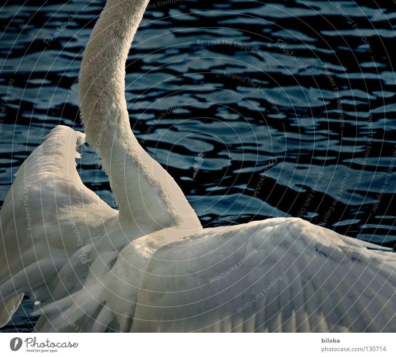 Water White Animal Black Lake Bird Waves Power Fear Flying Arm Large Elegant Force Feather Wing