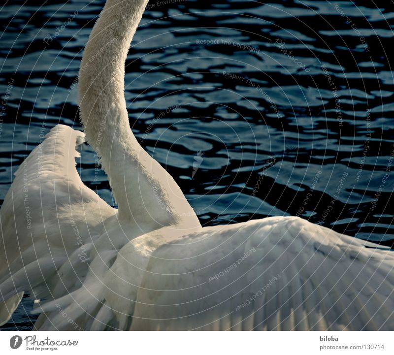 Water White Animal Black Lake Bird Waves Power Fear Flying Arm Large Elegant Force Feather Wing