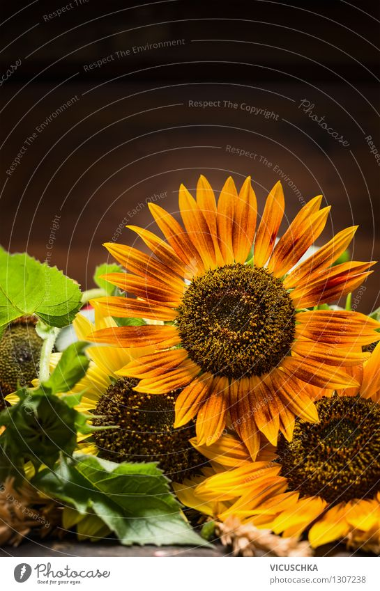 Sunflowers on a dark background Style Design Life Summer Garden Decoration Nature Plant Autumn Bouquet Retro Yellow Background picture Dark Holiday season Card
