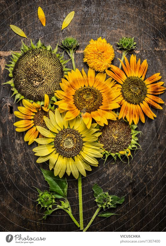 Sunflower Composing Elegant Style Design Summer Garden Nature Plant Autumn Flower Yellow Background picture Multicoloured Mature Leaf Sunflower seed