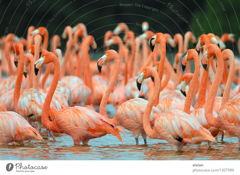 Greater Flamingos,phoenicopterus roseus, standing in the river Beautiful Red Animal Swimming & Bathing Bird Pink Wild animal Wing Group of animals Cute