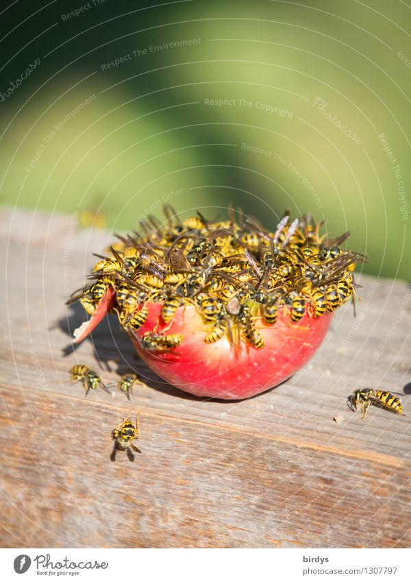 hunger Fruit Apple Nutrition Wasps Group of animals Flock Wood To feed Feeding Authentic Disgust Yellow Green Red Determination Appetite Voracious Food envy