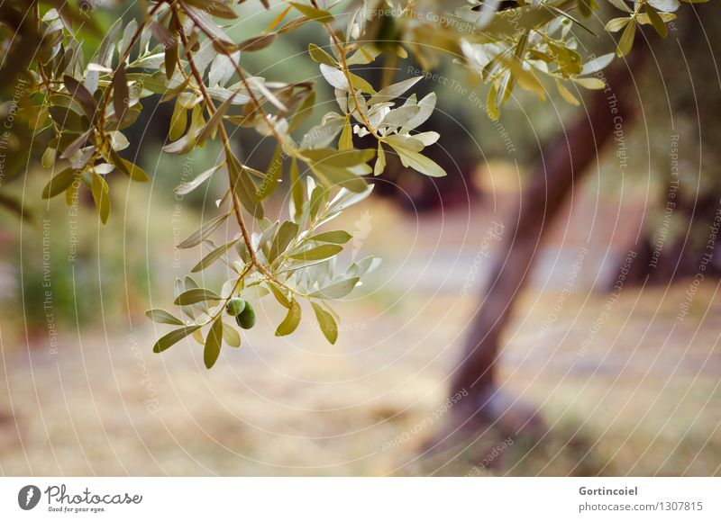 olive grove Environment Nature Plant Summer Tree Agricultural crop Green Olive tree Olive grove Olive leaf Twigs and branches Turkey the Aegean Colour photo