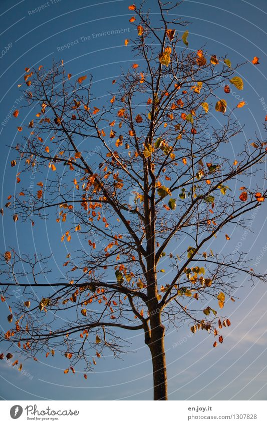 unshaken Environment Nature Plant Sky Cloudless sky Sunlight Autumn Climate Climate change Weather Beautiful weather Tree Deciduous tree Autumn leaves Old