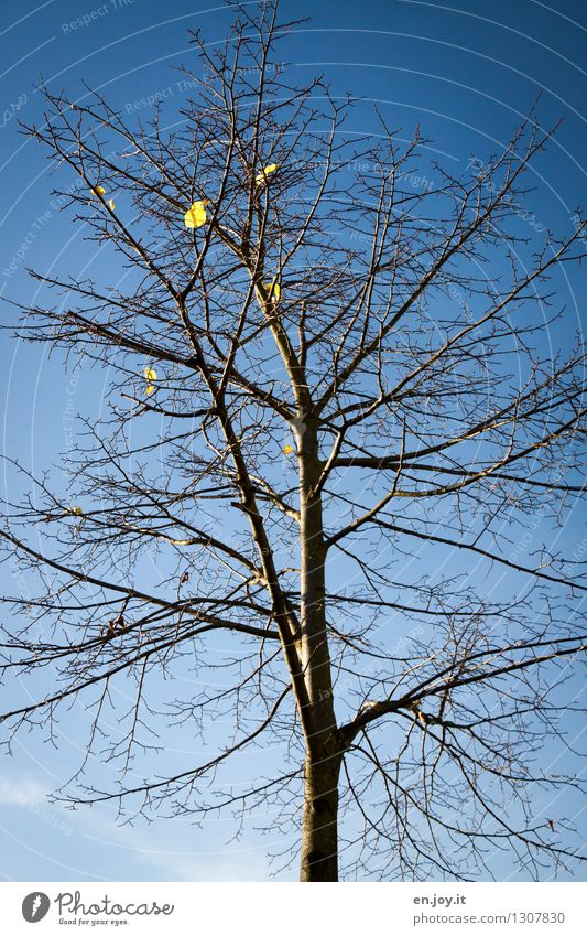 Weightless Nature Plant Sky Cloudless sky Autumn Climate Climate change Beautiful weather Tree Leaf Deciduous tree Autumn leaves To fall Naked Gloomy Blue Hope