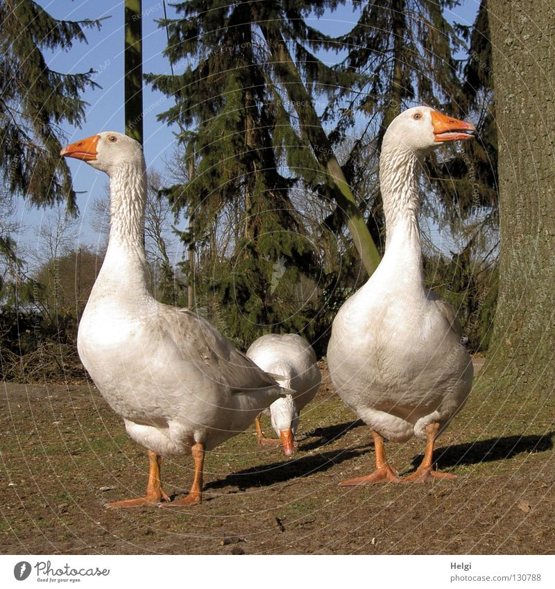 three free-range geese on a farm Goose Poultry White Farm Downy feather Fuzz Soft Beak Meadow Grass Green Brown Waddle Stand Looking 3 Tree Fir tree Tree bark